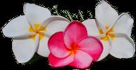 Plumeria.hu Logo Small
