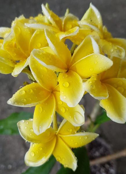 """Plumeria rubra """"Inca Gold"""""""