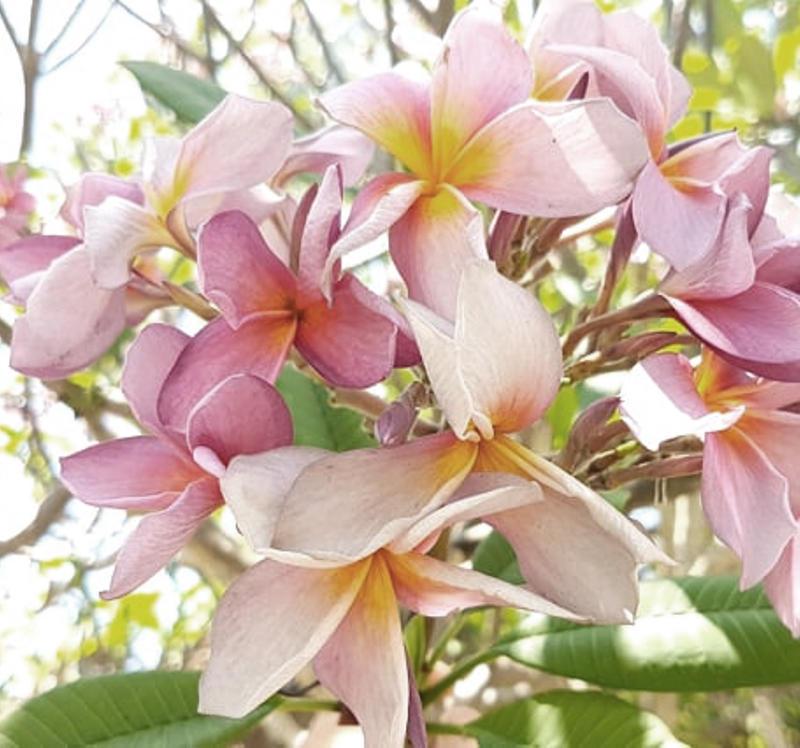 """Plumeria rubra """"Lilac Cloud"""""""