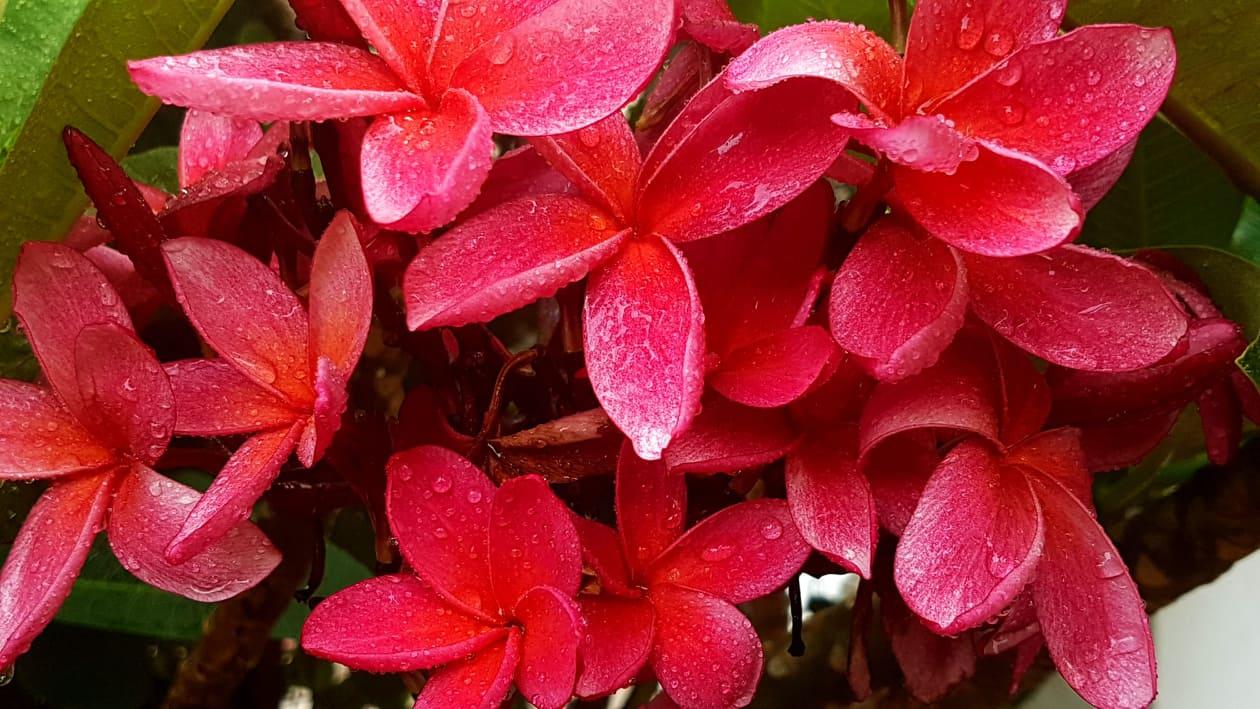 "Plumeria rubra ""Erna 23"""