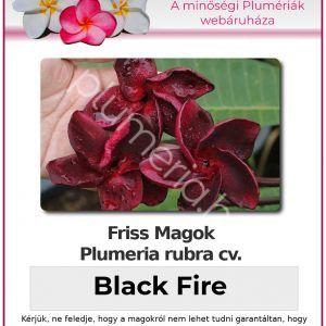 "Plumeria rubra ""Black Fire"""