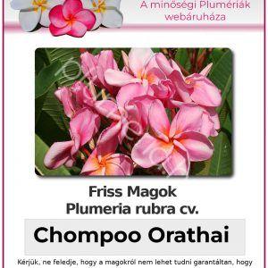 """Plumeria rubra """"Chompoo Orathai"""""""