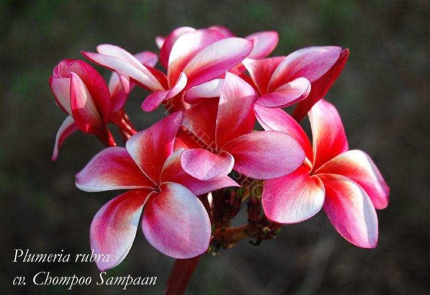 "Plumeria rubra ""Chompoo Sampaan"""