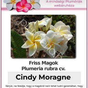 "Plumeria rubra ""Cindy Moragne"""