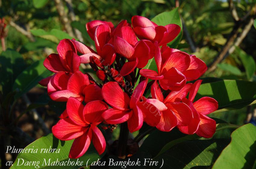 "Plumeria rubra ""Daeng Mahachoke"""