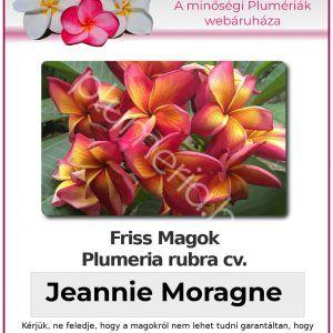 "Plumeria rubra ""Jeannie Moragne"""