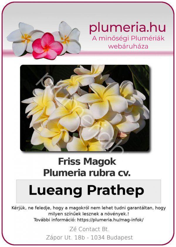 """Plumeria rubra """"Lueang Prathep"""""""