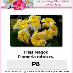 """Plumeria rubra """"P8"""""""