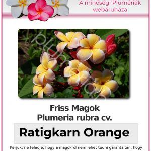 "Plumeria rubra ""Ratigkarn Orange"""