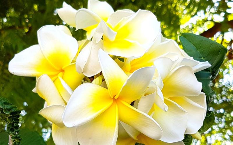 frangipani-weiss-gelb