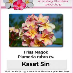 """Plumeria rubra """"Kaset Sin"""""""