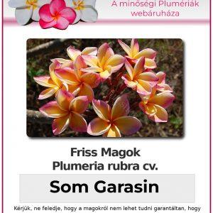 "Plumeria rubra ""Som Garasin"""