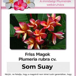"Plumeria rubra ""Som Suay"""