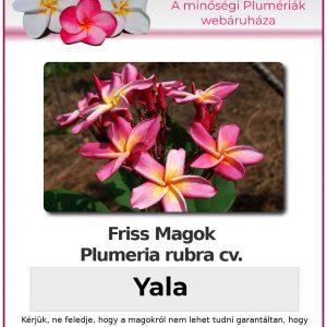 "Plumeria rubra ""Yala"""