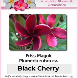 "Plumeria rubra ""Black Cherry"""