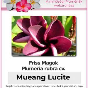 """Plumeria rubra """"Muang Lucite"""""""