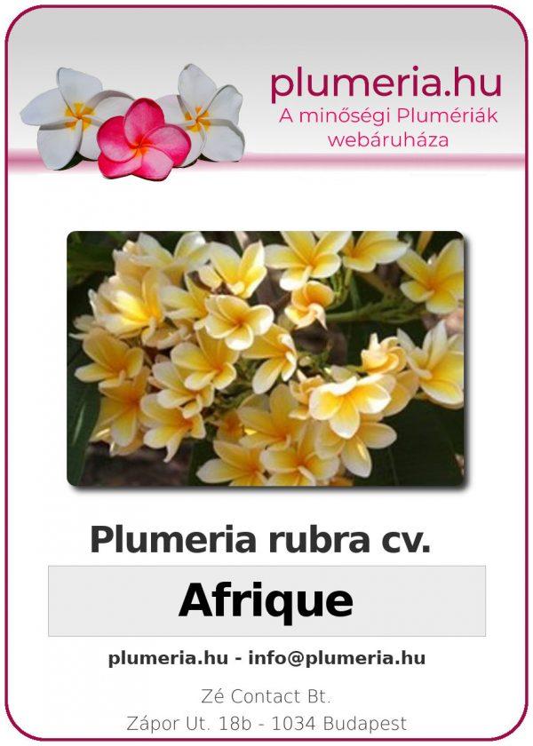 """Plumeria rubra """"Afrique"""""""
