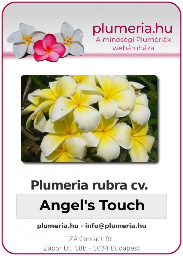 "Plumeria rubra ""Angel's Touch"""