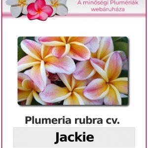 """Plumeria rubra """"Jackie"""""""