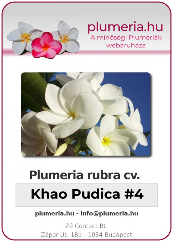 "Plumeria rubra ""Khao Pudica #4"""