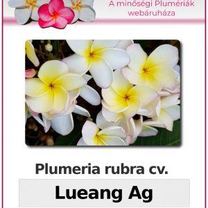 """Plumeria rubra """"Lueang Ag"""""""