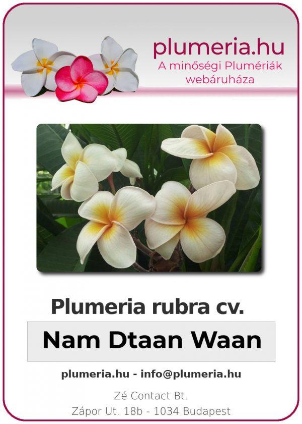 """Plumeria rubra """"Nam Dtaan Waan"""""""