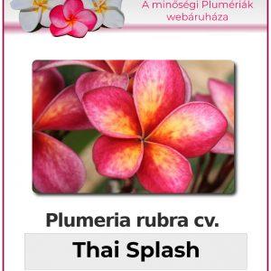 "Plumeria rubra ""Thai Splash"""
