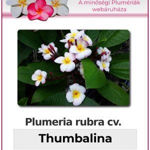 "Plumeria rubra ""Thumbalina"""