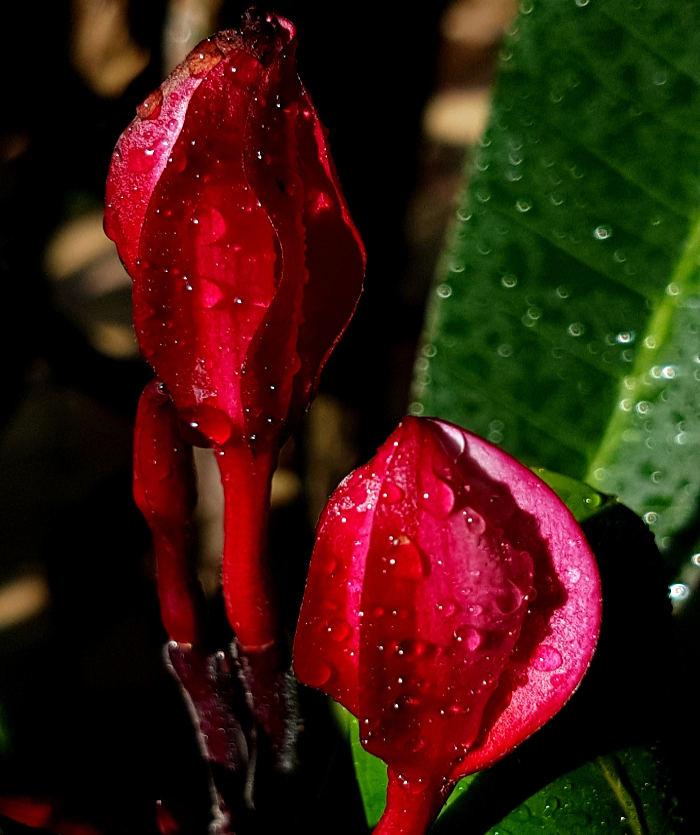 "Plumeria rubra ""Irma Bryant"""