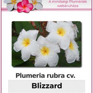"Plumeria rubra ""Blizzard"""