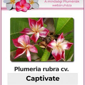 """Plumeria rubra """"Captivate"""""""
