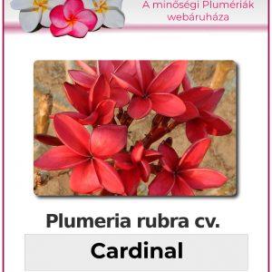 "Plumeria rubra ""Cardinal"""