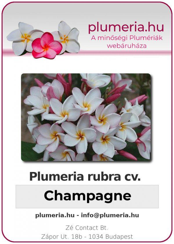 "Plumeria rubra ""Champagne"""