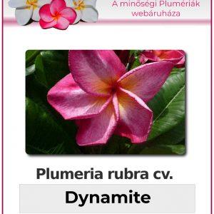 "Plumeria rubra ""Dynamite"""