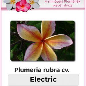 """Plumeria rubra """"Electric"""""""