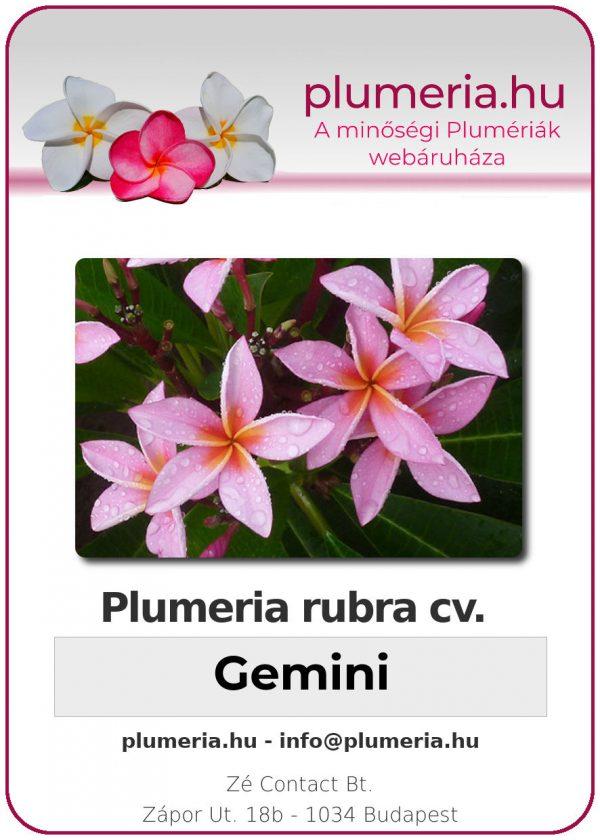 """Plumeria rubra """"Gemini"""""""