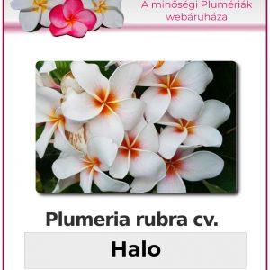 "Plumeria rubra ""Halo"""