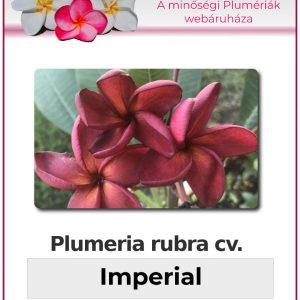 """Plumeria rubra """"Imperial"""""""