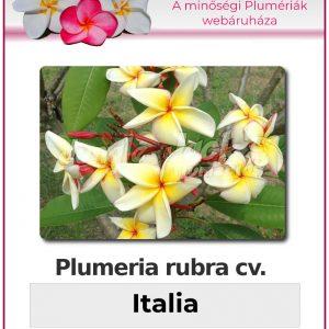 """Plumeria rubra """"Italia"""""""