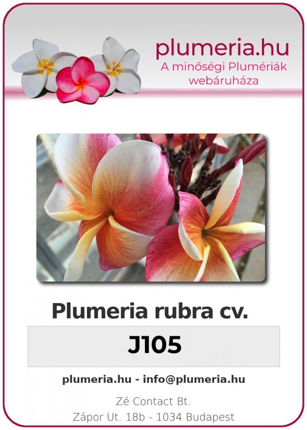"Plumeria rubra ""J105"""
