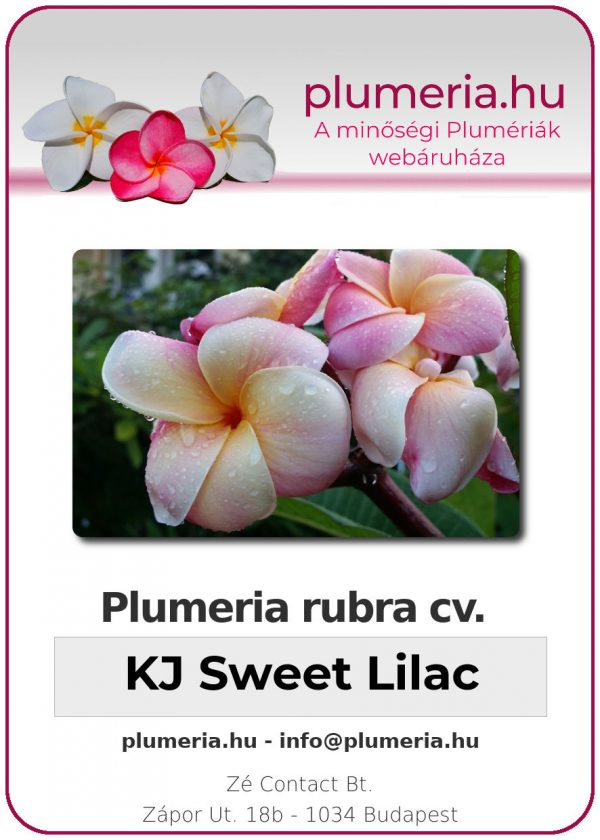 "Plumeria rubra ""KJ Sweet Lilac"""