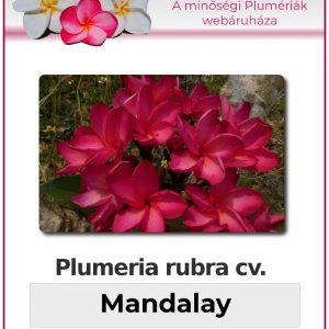 "Plumeria rubra ""Mandalay"""