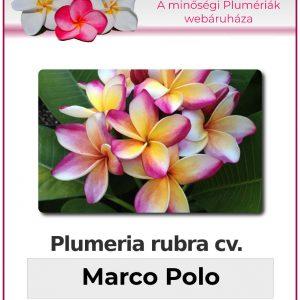 """Plumeria rubra """"Marco Polo"""""""