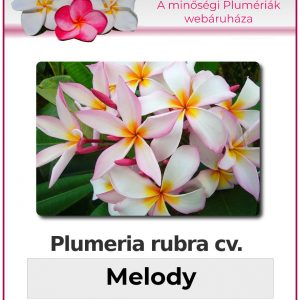 "Plumeria rubra ""Melody"""
