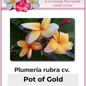 "Plumeria rubra ""Pot of Gold"""