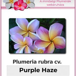 """Plumeria rubra """"Purple Haze"""""""