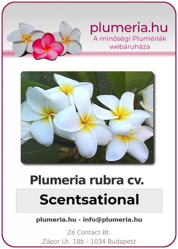 "Plumeria rubra ""Scentsational"""