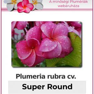 "Plumeria rubra ""Super Round"""