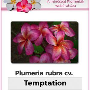 "Plumeria rubra ""Temptation"""