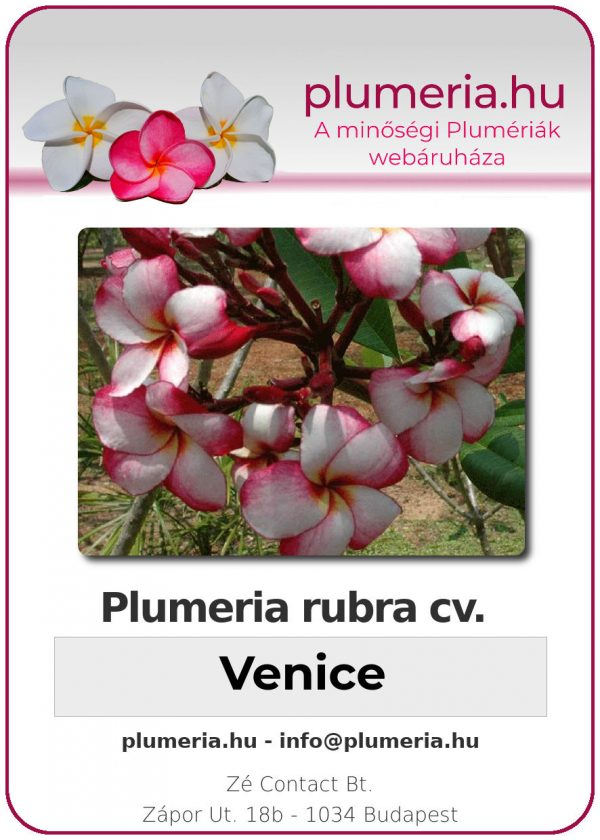 "Plumeria rubra ""Venice"""